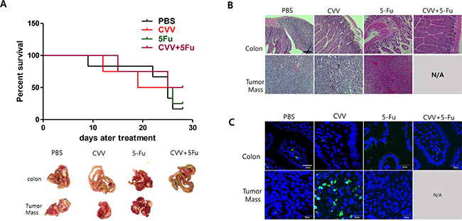 Enhanced suppression of stem cell-like CT26 mouse colon cancer cells by CVV.