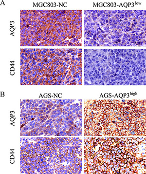 Expression of AQP3 and CD44 proteins is determined in tumors of mice by IHC.