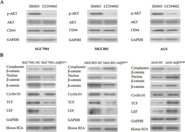 AQP3 activates β-catenin signaling to increase CD44 expression.