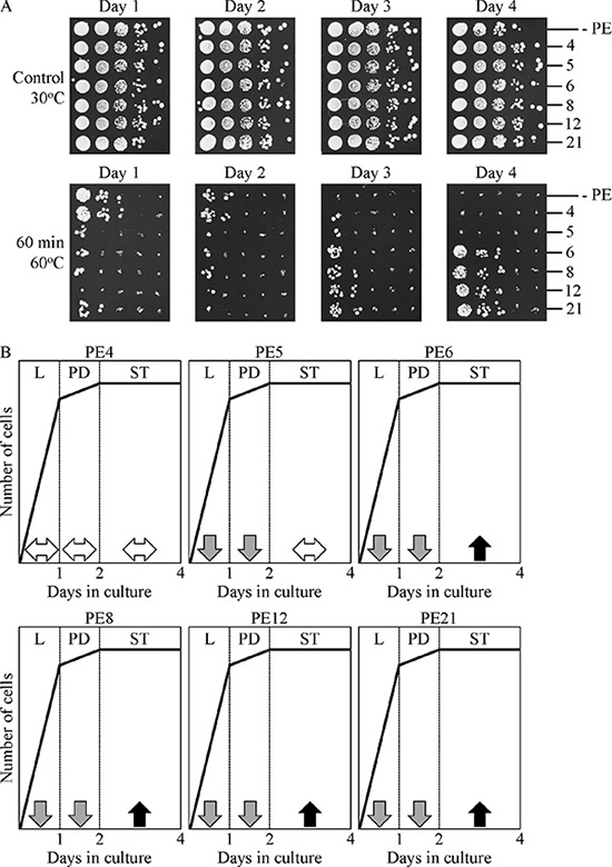 PE4, PE5, PE6, PE8, PE12 and PE21 exhibit different effects on the ability of chronologically aging yeast grown under non-CR conditions to resist chronic thermal stress.