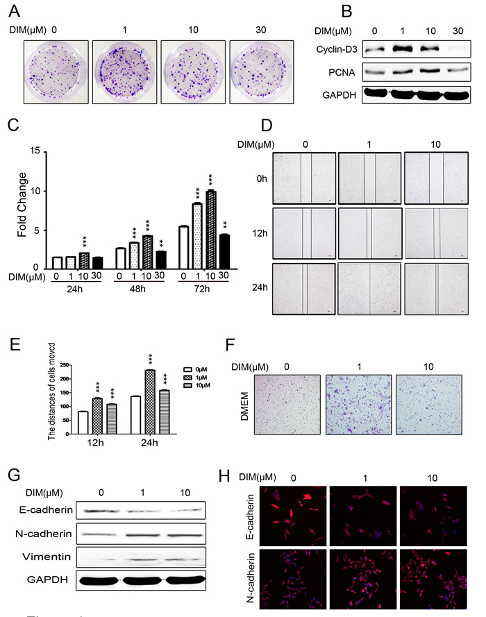 Low level of DIM promotes the proliferation and migration of gastric cancer cells.