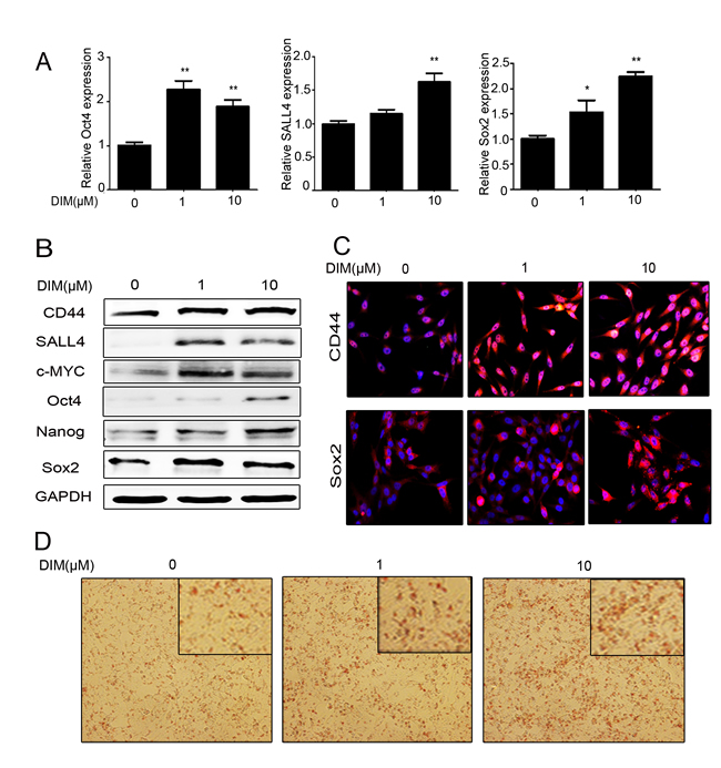 Low level of DIM enhances the stemness of gastric cancer cells.