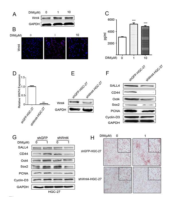 Low level of DIM enhances Wnt4 autocrine to activate β-catenin signaling.