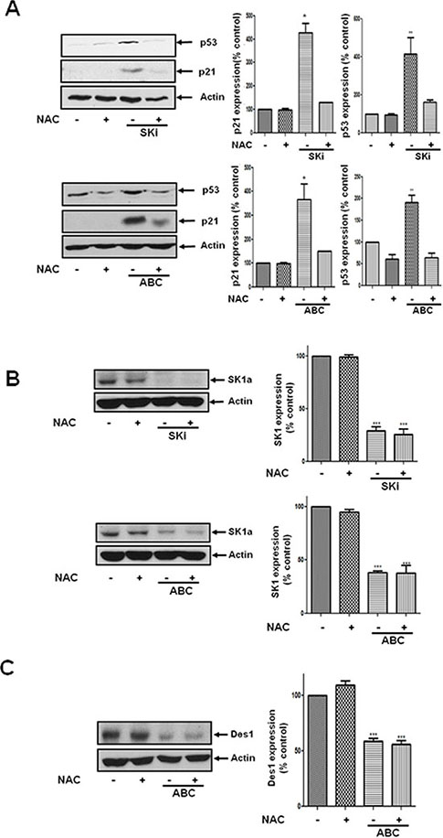 Effect of NAC on the ABC294640- or SKi-induced increase in p21 and p53 expression and the lack of effect on SK1a expression.