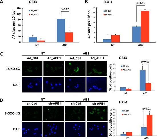 APE1 decreases acidic bile salts-induced oxidative DNA damage in EAC cells.