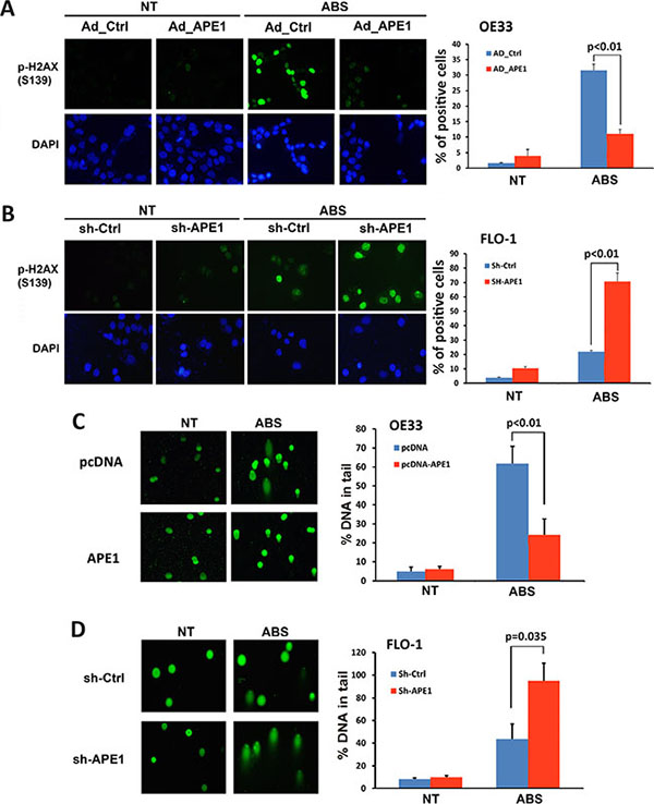 APE1 decreases acidic bile salts-induced double strand DNA damage in EAC cells.