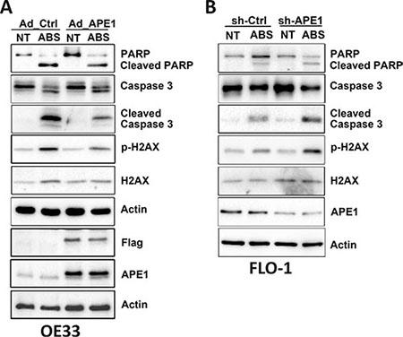 APE1 regulates acidic bile salts-induced DNA damage and apoptosis signaling.