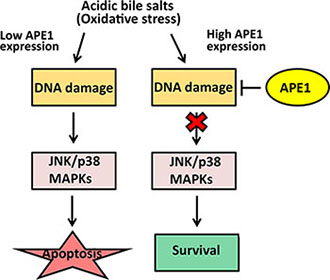 APE1-mediated DNA damage repair promotes cell survival in response to acidic bile salts in mutant p53-expressing EAC cells.