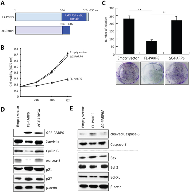 PARP6 inhibits cell growth and colony formation.