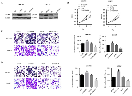 Evaluation of cell proliferation, migration and invasion in SGC7901 and HGC27 cell lines transduced by lentiviral-mediated CRMP4 overexpression and shRNA-mediated knockdown of CRMP4 expression.