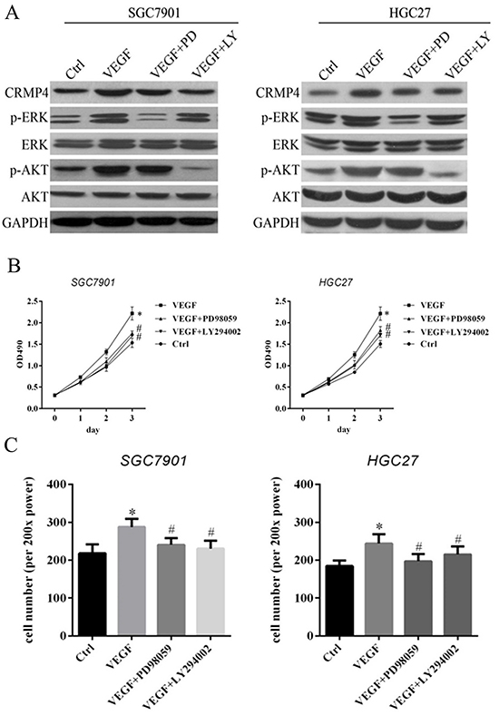 MAPK and PI3K inhibitors (PD98059 and LY294002) contribute to VEGF-mediated CRMP4 expression-induced cell proliferation and migration in SGC7901 and HGC27 cell lines.