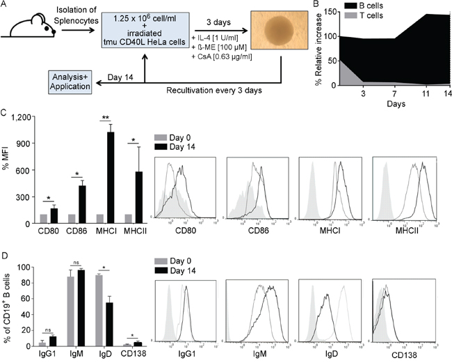 B cells develop an APC-phenotype upon CD40L activation.