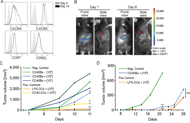 Vaccination with CD40B cells induces anti-tumor immunity in vivo.