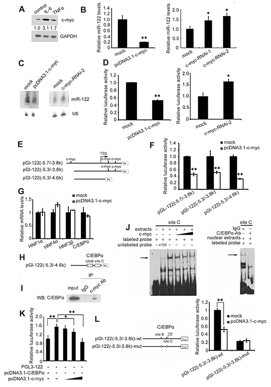 IL-6 and TNF-α suppress miR-122 by c-myc-mediated C/EBPα inhibition.