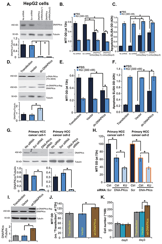 DNA-PKcs is an important but not exclusive target of KU-0060648 in HCC cells.