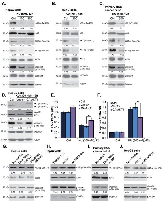 KU-0060648 inhibits PI3K-AKT-mTOR activation in HCC cells.
