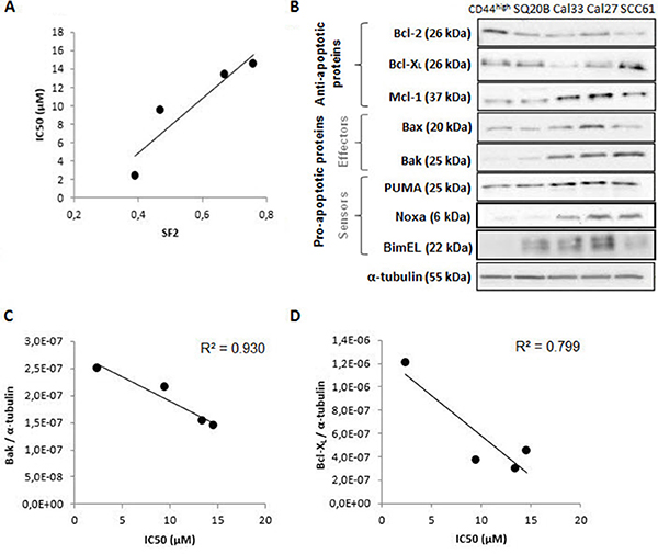 Study of the sensitivity of four human HNSCC cell lines to ABT-737.