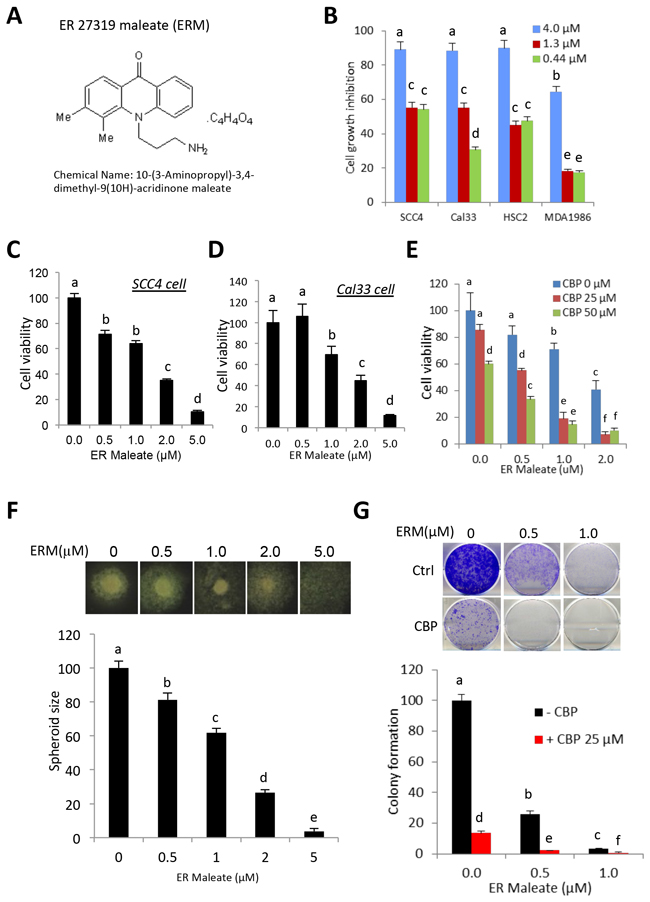 ER maleate inhibited cell proliferation, survival, spheroid formation and colony formation in OSCC cells.
