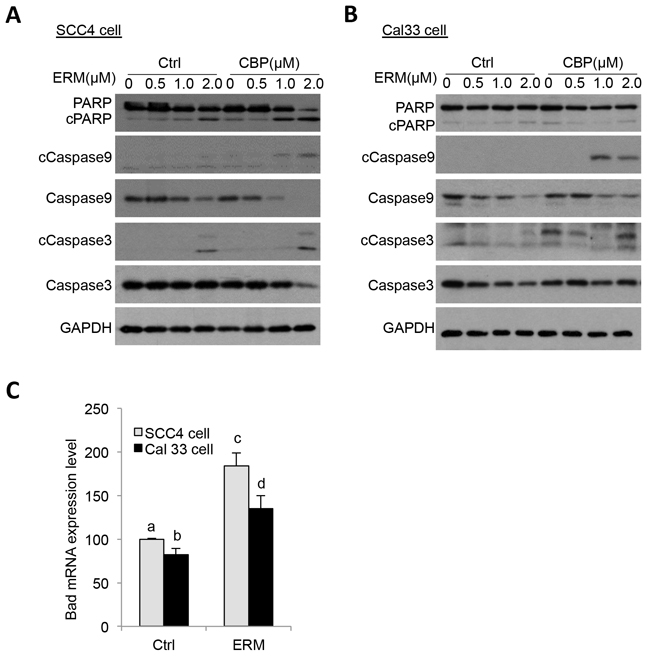 ER maleate induced cleavage of PARP, caspase9 and caspase3 in OSCC cells.
