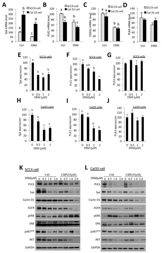 ER maleate inhibits the expression of Syk, PLK1, and CHEK2 and modulates PI3K/Akt signaling in OSCC cells.