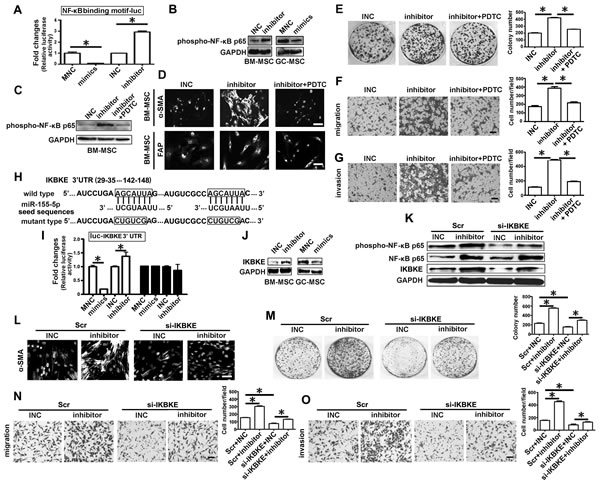 IKBKE validated as a target of miR-155-5p is involved in miRNA inhibitor activating NF-κB p65 .