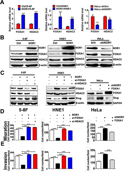 NOR1 inhibition of slug expression and malignant behaviors of cancer cells are dependent on FOXA1 and HDAC2.