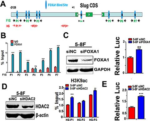 Either FOXA1 or HDAC2 negatively regulates slug transcription.
