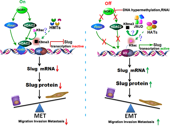 Schematic illustration of the NOR1-FOXA1/HDAC2-SLUG regulatory network in the EMT process of NPC.