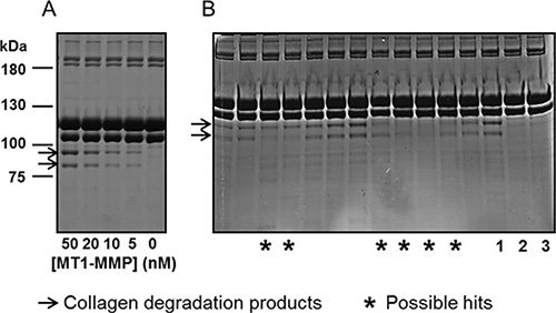 MT1-MMP scFv's selected for the ability to prevent collagen cleavage.