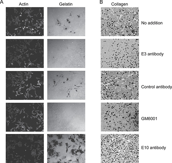 Lead Fc-scFv's inhibit cell-surface MT1-MMP gelatinolytic and collagenolytic activity.