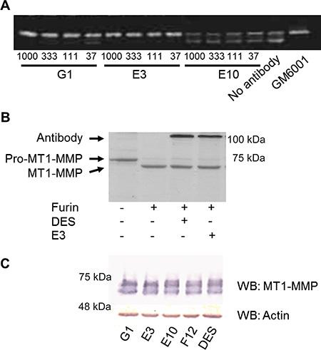 Fc-scFv's inhibit activation of pro-MMP-2, but not activation of pro-MT1-MMP.