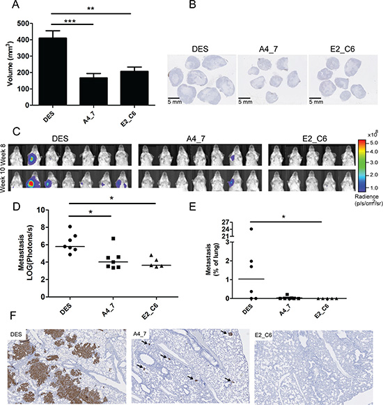 Anti-MT1-MMP A4_7 and E2_C6 Fc-scFv's inhibit primary tumor growth and spontaneous metastasis development in mice.