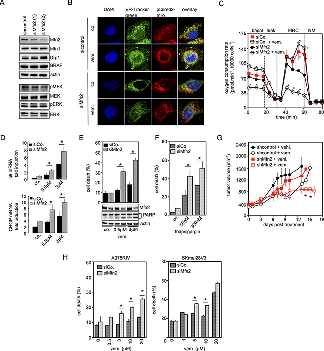 Mfn2 is involved in the mitochondrial protection against ER stress-related cell death induced by BRAFi.
