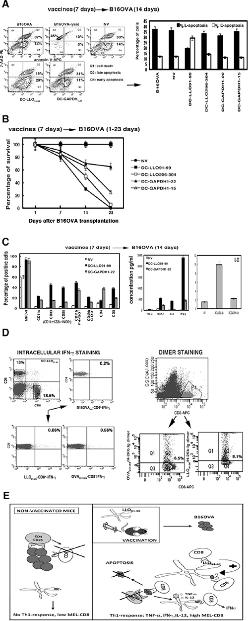 (A) Early and late apoptosis examined in NV or DC-vaccinated mice and transplanted with B16OVA for 14 days (14D).