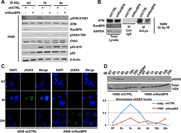 RanBP9 silencing affects the DNA-damage response.