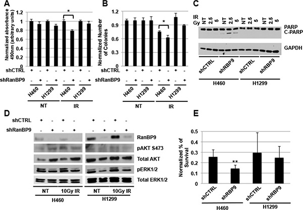 RanBP9 silencing affects cell growth and survival following genotoxic stress exposure.