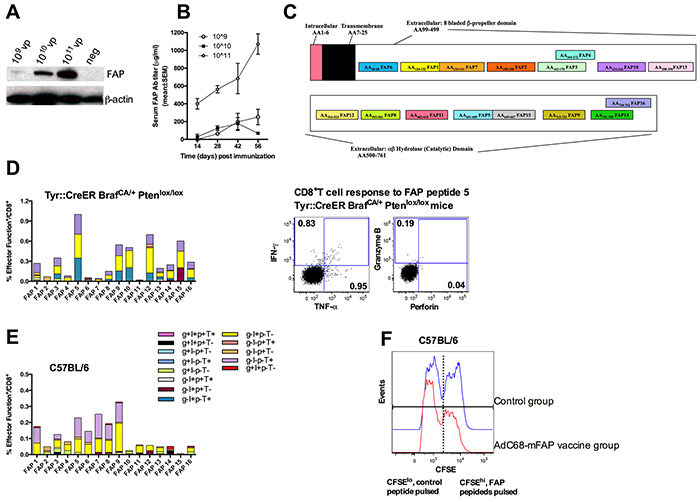 The AdC68-mFAP vaccine induces FAP-specific antibody and CD8+T cell responses.