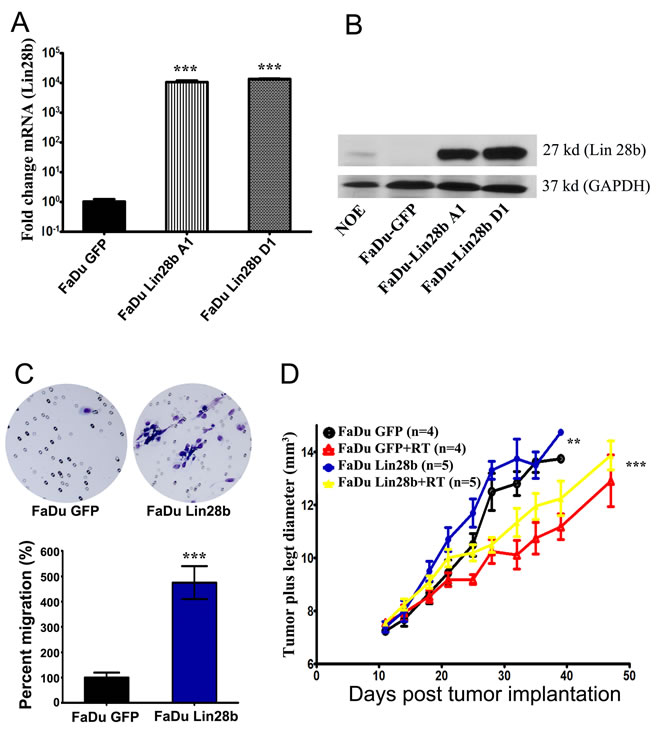 Stable expression of Lin28b enhanced HNSCC tumorigenicity