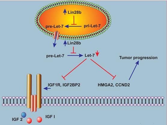 Schema describing a model for Lin28b-mediated tumor progression.