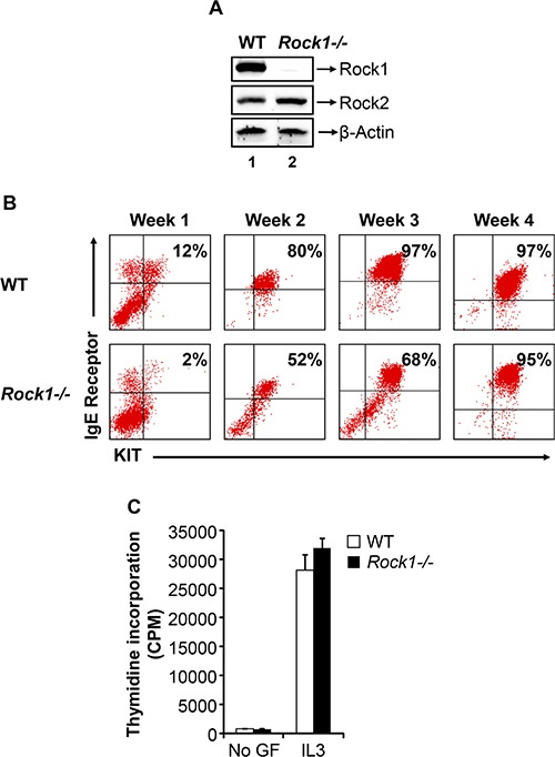 Deficiency of Rock1 results in impaired early maturation of bone marrow derived mast cell (BMMC).