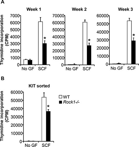 Rock1 deficient cells show altered SCF-mediated growth.