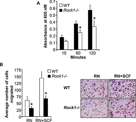 Rock1 deficiency impacts integrin-mediated adhesion and migration.