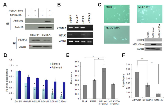 PSMA1 enhanced the mammosphere formation through the phosphorylation by MELK.