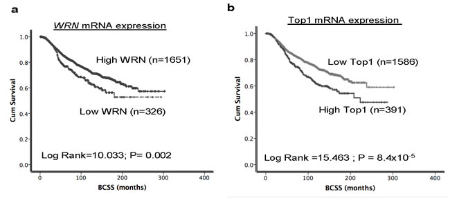 Top1 and WRN mRNA expression in METABRIC cohort.