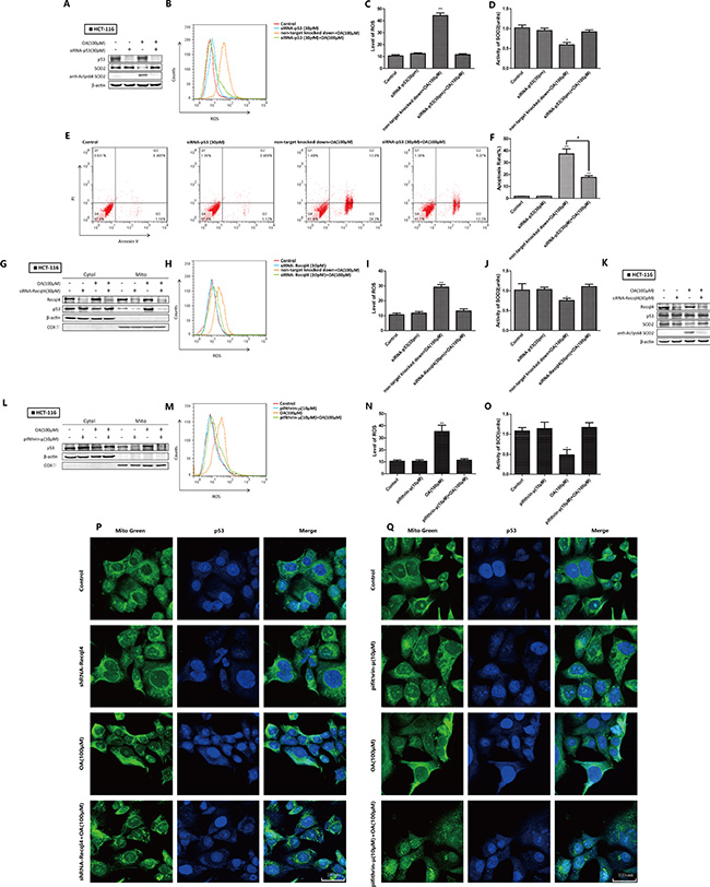 Oroxylin A-induced SOD2 activity inhibition and increased ROS were mediated by wt-p53 mitochondrial translocation in HCT-116 cells.