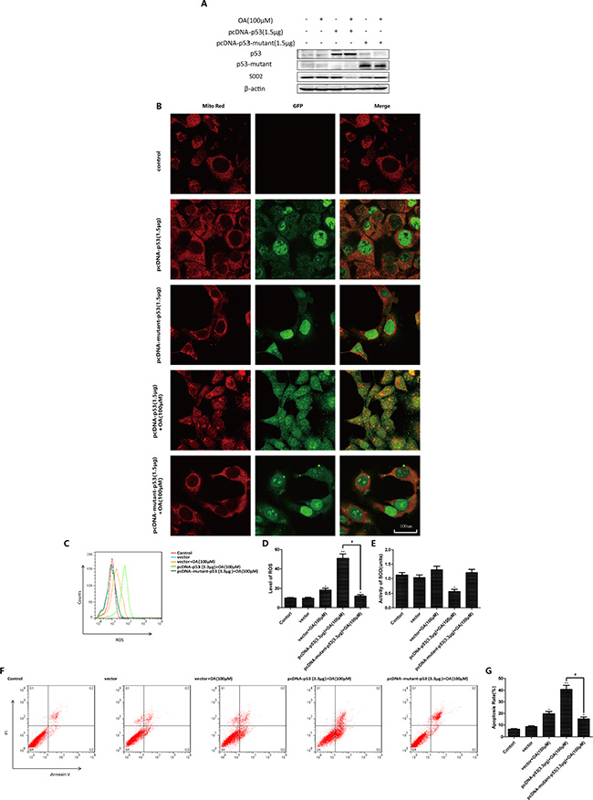 P53 mutation inhibits oroxylin A-induced mitochondrial translocation.