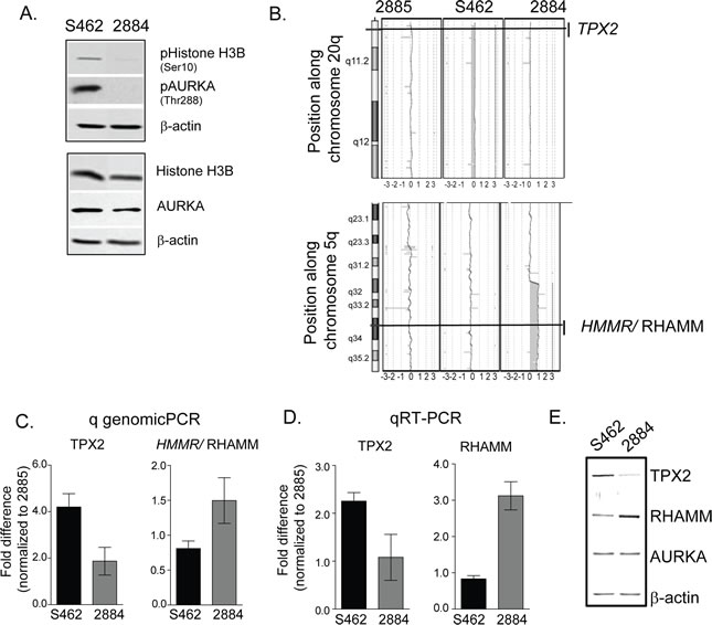 Gene dose alterations in TPX2 and RHAMM account for the differential AURKA activity in MPNST cell-lines.