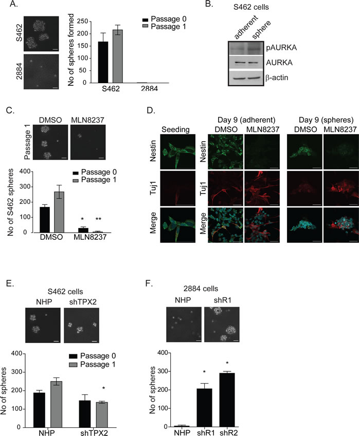 Inhibition of AURKA by MLN8237 limits self-renewal and induces neuronal differentiation of MPNST tumour initiating cells in vitro