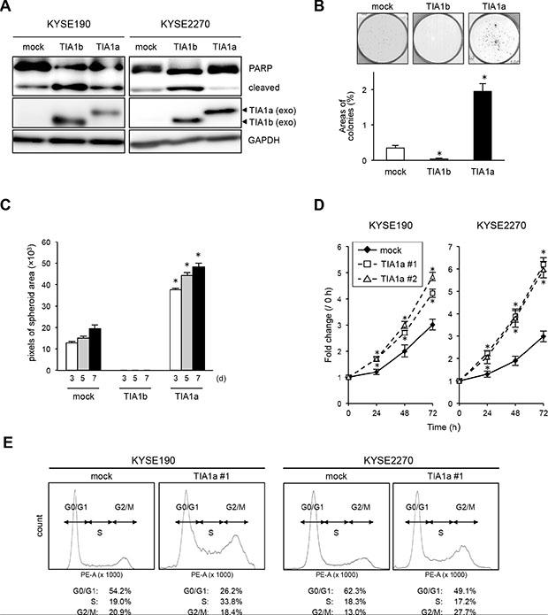 TIA1a promotes cell proliferation in ESCC cells.