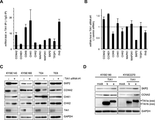 Binding of TIA1 with mRNAs of putative target mRNAs and its effect on protein levels in ESCC cells.